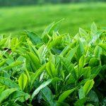 Công bố tiêu chuẩn chất lượng trà xanh ( chè xanh )